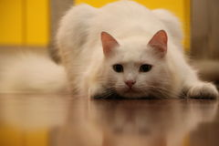 White cat targeting on mouse. In house Stock Images