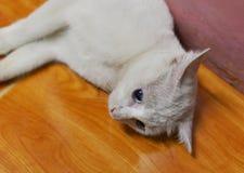 White cat Royalty Free Stock Image