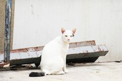 White cat in Thailand is sitting. stock image