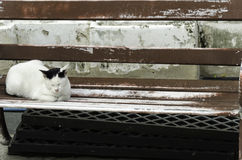 White cat Thailand to relax. Royalty Free Stock Photography