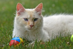 White Cat with toy in grass Stock Photography