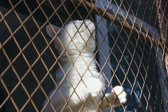 White cat trap and is stuck in a steel wire netting,cage,hoping. For getting out Royalty Free Stock Photo