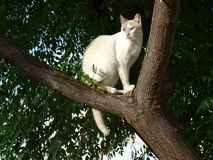 White cat in a tree. Royalty Free Stock Images