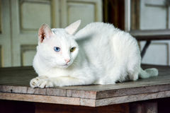 White cat with two color of eyes Royalty Free Stock Photography
