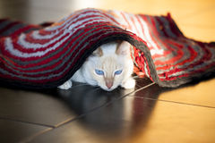 White cat under red carpet Royalty Free Stock Photos