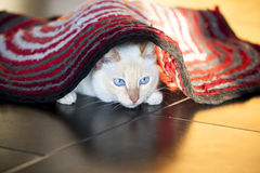 White cat under red carpet Royalty Free Stock Photography