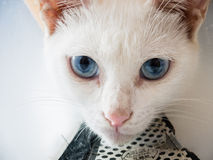 White cat. Used China Cat was never a scientific name, ordinary Chinese netizens in recent years under the same awkward family dog to the Chinese average house Royalty Free Stock Image