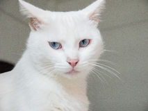 White cat. Used China Cat was never a scientific name, ordinary Chinese netizens in recent years under the same awkward family dog to the Chinese average house Stock Images