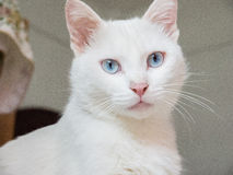 White cat. Used China Cat was never a scientific name, ordinary Chinese netizens in recent years under the same awkward family dog to the Chinese average house Royalty Free Stock Photography