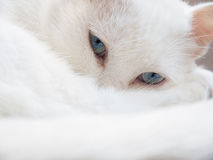 White cat. Used China Cat was never a scientific name, ordinary Chinese netizens in recent years under the same awkward family dog to the Chinese average house Royalty Free Stock Photos