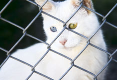 White cat Van in a shelter with different eyes Stock Image
