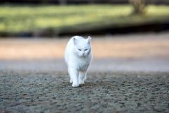 White cat walk around the garden. Cat walk around the garden Royalty Free Stock Photo