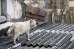 White cat walking on the house roof stock photography