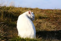 White cat. Walking on a meadow royalty free stock photography