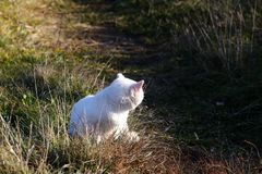 White cat. Walking on a meadow royalty free stock photo