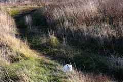 White cat. Walking on a meadow royalty free stock images