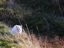 White cat. Walking on a meadow stock image