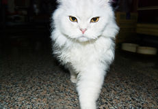 White cat is walking toward Stock Photos