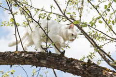White cat is walking on a tree. Against the blue sky in spring Royalty Free Stock Image