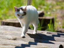 White cat is walking on wooden planks Stock Photography