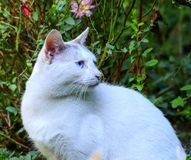 White cat watching birds. In the garden, a white cat watches the birds that fly there Royalty Free Stock Image
