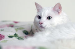 White cat watching stock images
