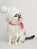 White cat wearing a knitting hat with pompom and a scarf. White cat with blue eyes wearing a white knitting hat with pompom and a white and red striped scarf Stock Photo
