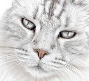 White cat whiskers royalty free stock photo