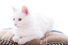 White cat on a white background Royalty Free Stock Photography
