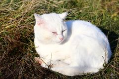 White cat. Sunbathing on a meadow royalty free stock photos