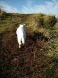 White cat. Walking in meadow royalty free stock images