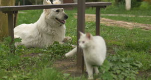 White cat and white dog playing at green grass. stock video footage