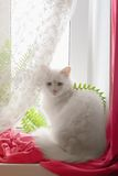 White cat on the window. White cat sitting on the window with a red curtain Royalty Free Stock Image
