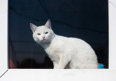 White cat on the window sill Royalty Free Stock Images