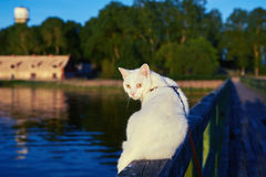 White cat on a wooden bridge. White cat sits on a wooden bridge summer evenings Royalty Free Stock Photos
