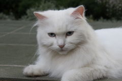 White cat on the yard. Royalty Free Stock Image