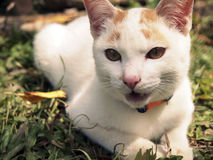 A white cat on the yard. A white cat scream on the yard with blur background royalty free stock photography
