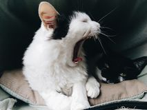 White cat yawning while black cat sleeps royalty free stock photos