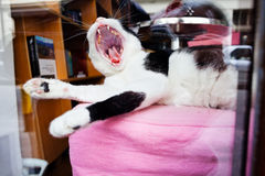 White Cat yawning Stock Photography