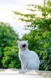 White cat yawning Stock Image