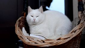White cat yawns in a basket in front of house stock video footage