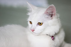 White cat. With yellow eyes Royalty Free Stock Image