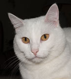 White cat with yellow eyes. White cat on a black background Stock Photos