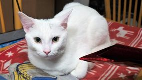 White Cat Yellow Eyes. Close up on red blanket Royalty Free Stock Image