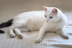 White cat with yellow eyes closeup Royalty Free Stock Images