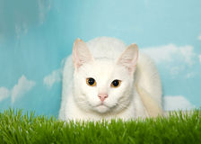 White cat with yellow eyes crouched in tall grass Stock Photo