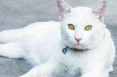 White cat. With yellow eyes lay on the ground Royalty Free Stock Images