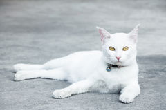 White cat. With yellow eyes lay on the ground Stock Image