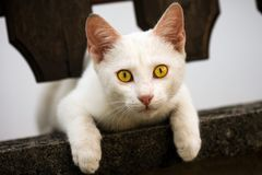 White cat with yellow eyes. Is looking at camera Royalty Free Stock Images