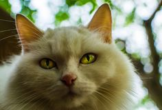 White cat with yellow eyes royalty free stock photos